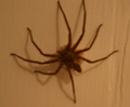 mother cane spider