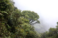 Cloud mists moving into Oahu summit forest